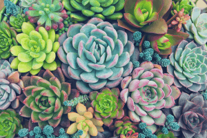 Overhead shot of several succulent plants