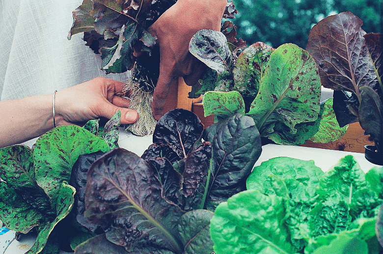 two people transplanting a hydroponic lettuce plant.