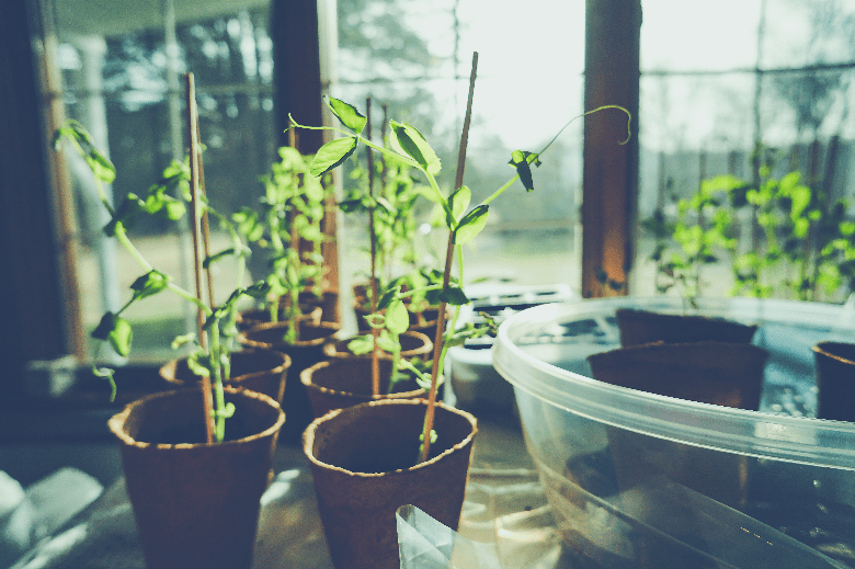 plant seedlings in windowsill