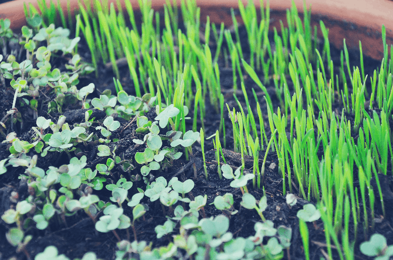 picture of two types of microgreens in soil