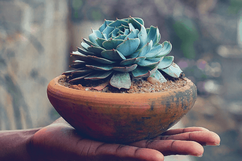 person holding a succulent plant