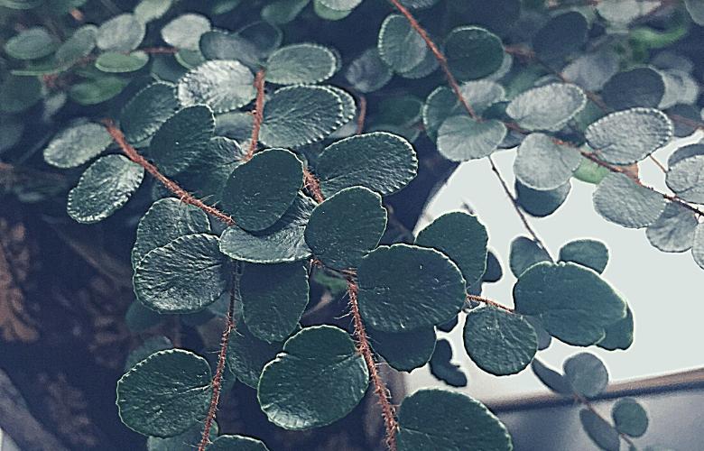 lemon button ferns