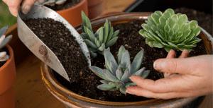 woman planting a succulent